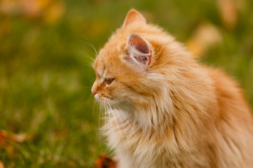 Beautiful cat walking in autumn in november