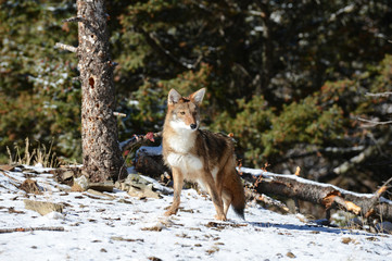 red fox in snow looking .