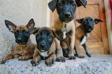 Young belgian malinois puppies