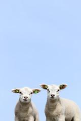 Two newborn lambs in spring