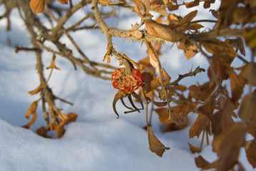 Dry hips and leaves of dog rose under snow - garden at a winter day
