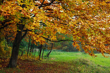Fall background yellowing foliage of autumn trees in woods