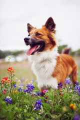 A happy dog in a field of bluebonnet flowers