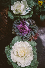 Ornamental cabbage plants