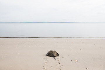 Horseshoe crab makes its way into the ocean
