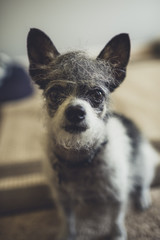 Cute dog with Trump hair
