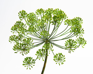 Umbel of dill weed on the white background