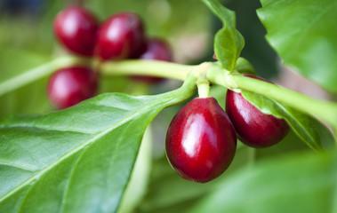 Kaffeepflanze mit reifen, roten Kaffeekirschen, Coffea arabica, Rubiaceae, Robusta
