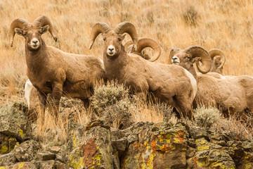 A Gang of Rocky Mountain Bighorn Rams