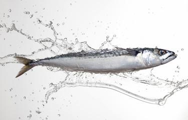 mackerel with water splash