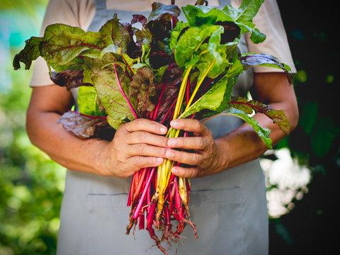 Farmer holding fresh organic swiss chard vegetable in hands.