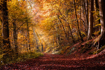 Aluminium Prints Autumn Autumn in the forest with light rays and red, golden leaves
