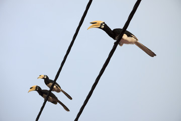 Oriental pied hornbills sitting on a wire, bottom-up view