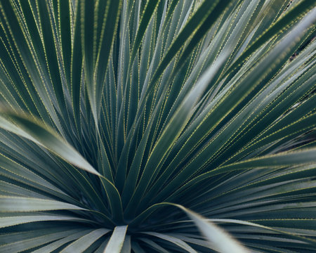 Detail of yucca plant from botanical garden