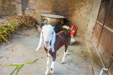 Close up of a bicolor goat, brown body and white head, inside of a building in Jaipur, india