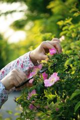 Woman picking dog roses (Rosa canina)