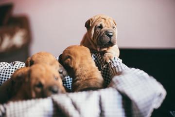 Shar-Pei Puppy Babies