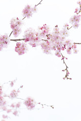 Beautiful Cherry Blossom Branches