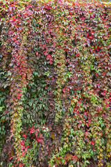 Wall full of colorful vine plant (or climber or creeper) in autumn colors.