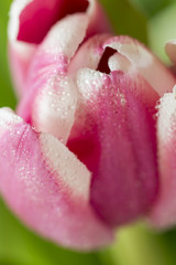 Pink and white Easter Tulips