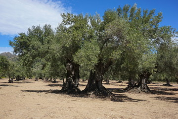 Field of old olive trees in Spain, Mediterranean, Roses, Girona, Catalonia