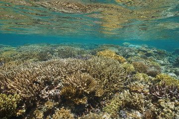 Underwater seascape healthy coral reef in shallow water, south Pacific ocean, lagoon of Grand Terre island in New Caledonia, Oceania