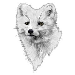 Arctic Fox sketch head vector graphics color picture