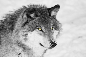 Foto auf Leinwand Wolf Timber wolf in winter, black and white