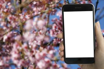 Young hipster using smart phone with white blank screen on full bloom of wild Himalayan Cherry (Sakura Thai) blur background in Northern Thailand. image for mock up.