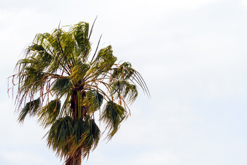 Close-up of treetop palm tree with leaves waved by wind