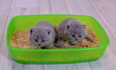 Two British blue kitten in green plastic toilet tray box with litter.