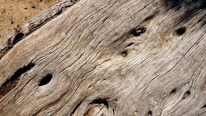 Olivenbaum - Baumrinde - Olea europaea