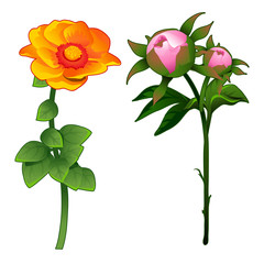 Blooming zinnia and non-blooming pink rose. Vector Illustration flower in cartoon style isolated on white background