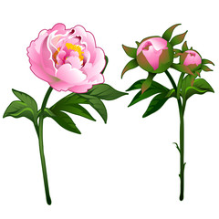Blooming peony and non-blooming pink rose. Vector Illustration flower in cartoon style isolated on white background