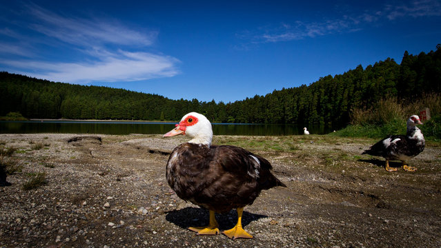 Lonely duck near a lake