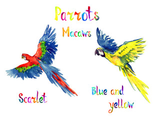 Blue and yellow and Scarlet macaw flying set, isolated hand painted watercolor illustration with handwritten inscription