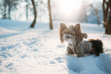 Cute doggy is in a snowy park in a warm overalls in the sunset. Biewer yorkshire terrier
