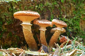armillaria ostoyae mushroom
