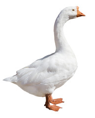 isolated pure white goose