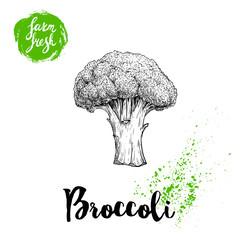 Hand drawn sketch style broccoli. Fresh farm vegetables vector illustration.