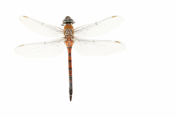 Dried dragonfly isolated on white