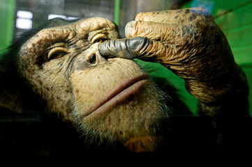 Anfisa, a twelve-year-old female chimpanzee, picks its nose at the Royev Ruchey Zoo in Krasnoyarsk