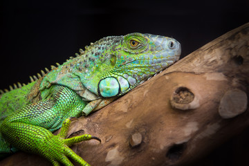 iguana lizard is resting on a branch