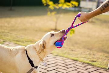 Cachorro labrador brincando