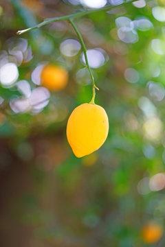 Yellow Meyer lemon growing on a tree