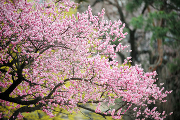 Pink color Japanese apricot flower