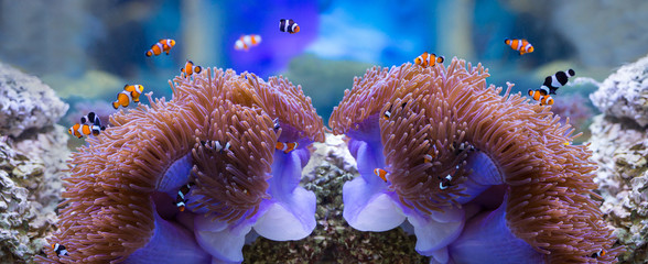 sea anemone and anemone fish
