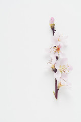 Single branch with Cherry Blossoms