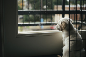 White lab puppy staring out a rainy window
