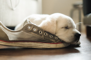 Tired white puppy sleeping on a shoe